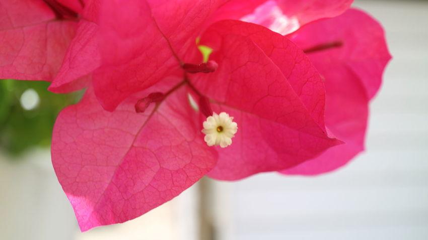 HatYaiで見かけたブーゲンビリア ブーゲンビリア Flower Hat Yai Thailandtravel Thailand