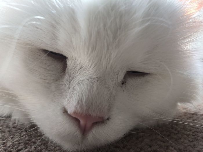 One Animal Pets Domestic Mammal Animal Animal Themes Cat Domestic Animals Domestic Cat Feline Vertebrate Close-up White Color Animal Body Part No People Whisker Relaxation Eyes Closed  Animal Head  Indoors  Animal Nose Snout Animal Mouth
