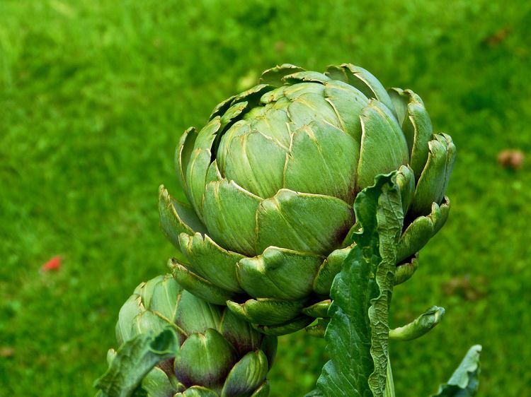 Artischocken Garden Flowers Agriculture Artichoke Food Food And Drink Freshness Green Color Growth Healthy Eating Nature No People Outdoors Vegetable