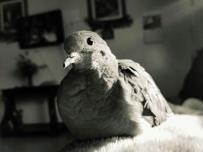 What a wonderful sight to wake up to. Nexus6P Nexus6pphotography Photography Photographer Photooftheday Picoftheday Blackandwhite Black And White Black & White Creamtone Bird Photography Dove Love Dove Of Peace Dove Morning View GreatMorning