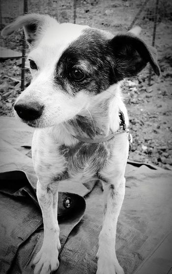 Priya, a real Sweetheart ! Dog Pets Domestic Animals Animal Themes Mammal Day Outdoors One Animal No People Close-up Blackandwhite Animal Portrait Mans Best Friend Womans Best Friend Family Pet Aloha Time For A Walk Animals Are Our Friends Hello Friend Old Soul