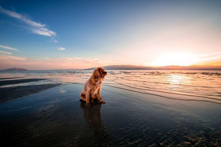 Dog on sea shore against sky during sunset