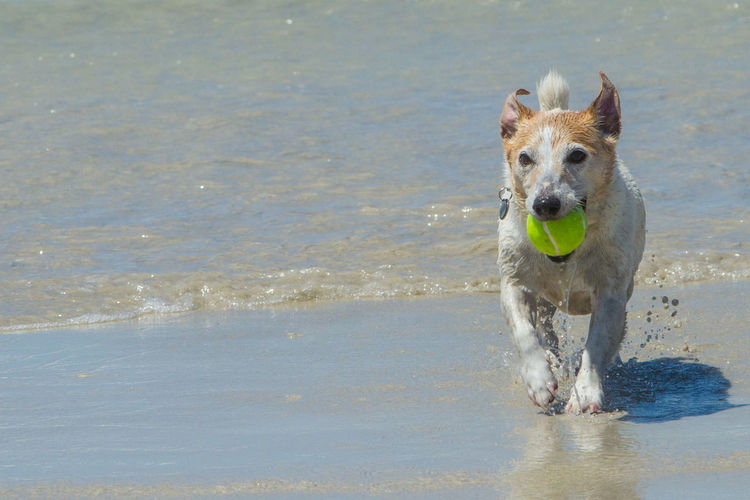 Jack Russell fetching his ball in the shallow waves of the ocean Animals Ocean Outdoors Ball Dog Jack Russell Canine Animal Domestic Water Motion Pets Running Portrait No People Carrying In Mouth Looking At Camera One Animal Animal Themes Day Nature