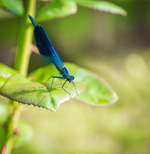 Close-up of blue insect on leaf