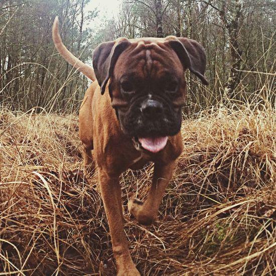 wald spaziergang ... I Love My Dog Dog Boxer Dogs Tadaa Community