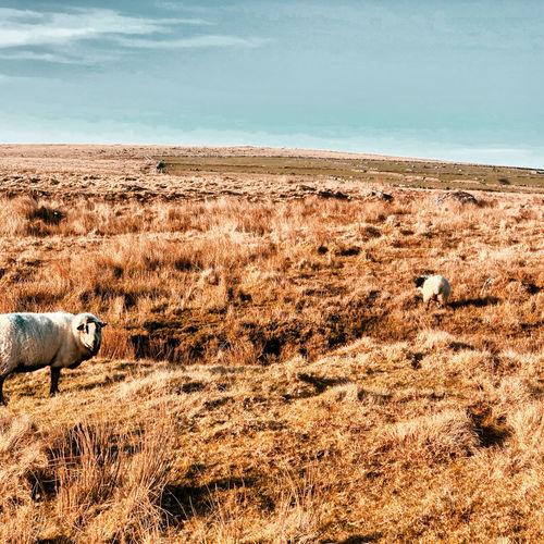 Dartmoor roaming sheep