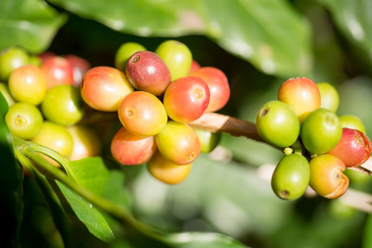 Close-up of coffee beans growing on tree
