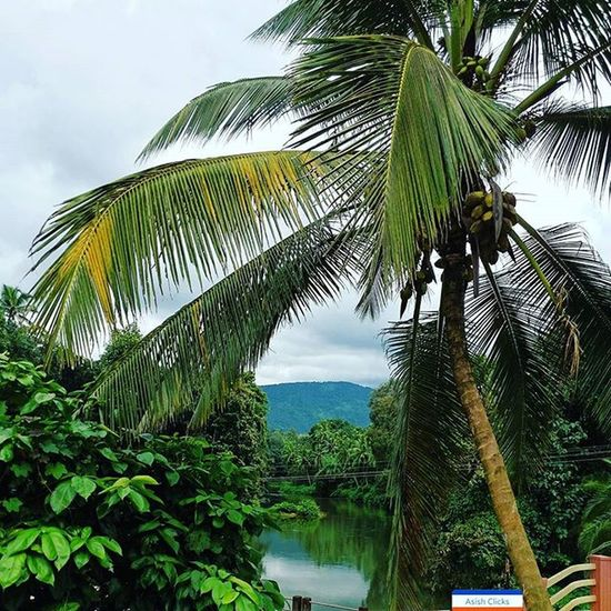 Nature ❤ Nature at its best. A lake, coconut tree and a hill in the background. 👍☺ Naturelovers Nature Naturelover Greenery Asishclicks Mobilephotography Coconut Coconuttree Gogreen Green Greens Lake Lakeview Hill Hills Teekoy Kottayam Kerala Scenic Pic Picoftheday Pictureday Instaig Instapic Perfectshot picperfect scenery