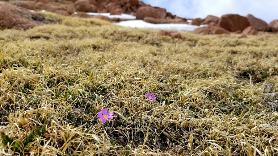 Tundra Flowers - Pikes Peak Colorado First Eyeem Photo
