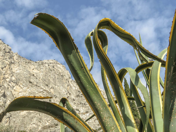 Low Angle View Agave Plant Beauty In Nature Day Green Color Growth Nature No People Outdoors Plant