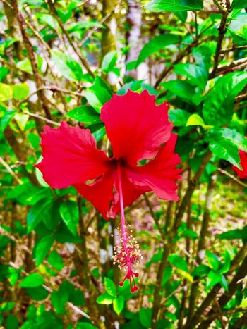Beautiful Flower Bunga Kebangsaan Bunga Raya Flowers, Nature And Beauty Nature Flower Nature Beauty In Nature Growth Petal Fragility Plant Flower Head Red Leaf Hibiscus Blooming