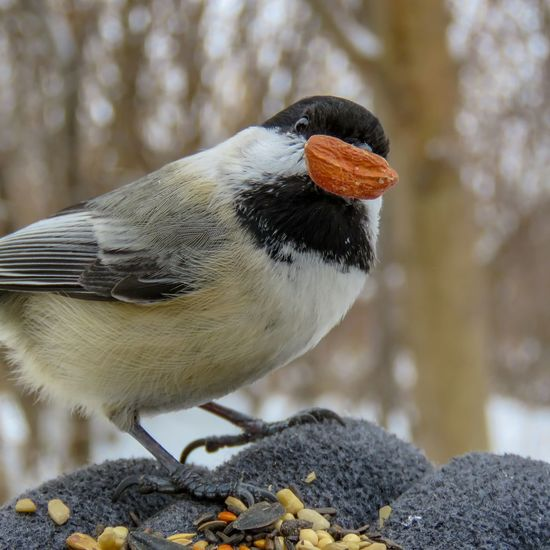 Perfect peanut Chickadee Black Capped Chickadee Songbird  Mississauga Ontario Feeding The Birds Bird One Animal Animal Wildlife Winter Animal Cold Temperature Animals In The Wild No People Side View Close-up Nature Outdoors Snow Beauty In Nature