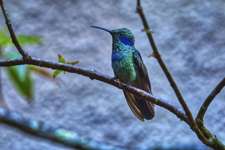 Green Violet-ear Monteverde Cloud Forest Reserve Animal Wildlife Bird Vertebrate Animals In The Wild Animal Themes Animal Perching One Animal Hummingbird No People Focus On Foreground Branch Plant Nature Beak Day Tree Close-up Green Color Beauty In Nature Outdoors