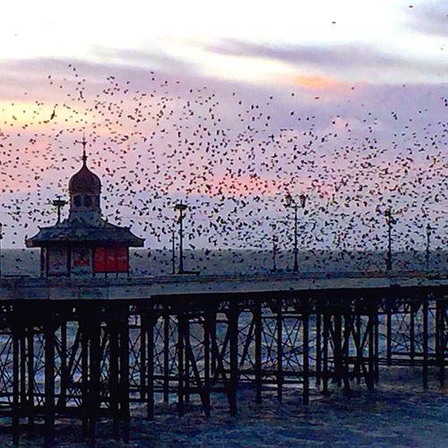 Blackpool Promenade Starlings Murmuration