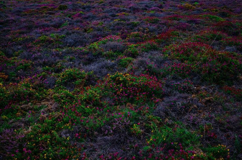 Full frame shot of purple flowering plants on land