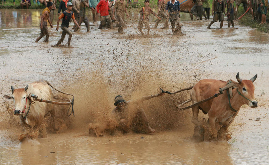 Local Gather Cow Race Pacu Jawi' in West Sumatra - Photo Story Day Domestic Animals Mammal Nature No People Outdoors Pacu Jawi Running The Photojournalist - 2016 EyeEm Awards The Way Forward Need For Speed