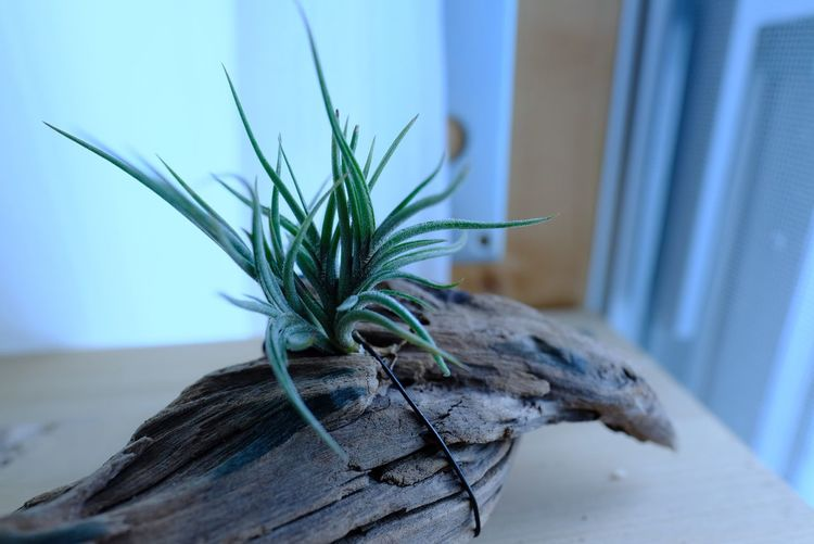 チランジア バンデンシス Plants 🌱 Tillandsia Airplant Airplants No People Focus On Foreground Indoors  Close-up Leaf Plant Day Nature