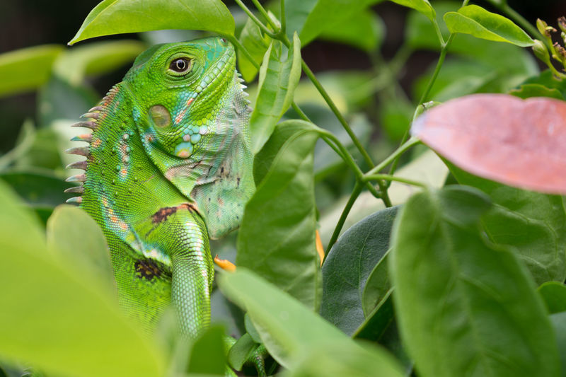Iguana Reptile Anfibio Animal Themes Animal Wildlife Animals In The Wild Green Color Iguanas Naturaleza Nature One Animal Reptile