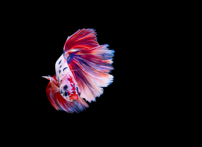 Beautiful siamese fighting fish on black background Aggression  FIN Moving Swimming Animal Betta Fish Black Background Close-up Color Copy Space Domestic Animals Fish Nature No People One Animal Pet Siamese Fighting Fish Splendens Swimming Tropical Water