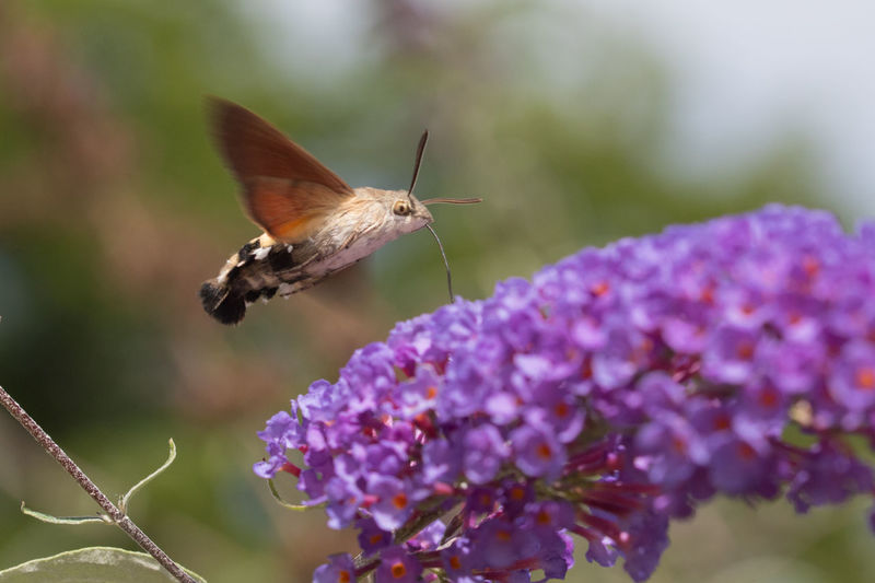 Buddleia Davidii Buddleja Davidii Macroglossum Stellatarum Beauty In Nature Butterfly Butterfly - Insect Close-up Flower Flower Head Focus On Foreground Hummingbird Hawk-moth Hummingbird Hawk-moth (Macroglossum Stellatarum) Insect Nature No People One Animal Pollination Taubenschwänzchen