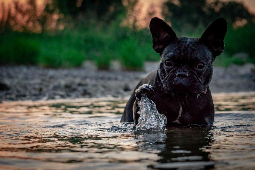 Allegra Französische Bulldogge  Hundefotografie Tierfotografie Dogs Of EyeEm Hundeportrait EyEmselect Düsseldorf Butsosexy Hunde Dogs EyeEm Selects Pets Water Dog Portrait Summer
