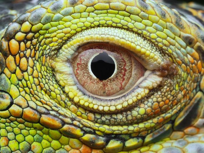 Close-up of a iguana eye