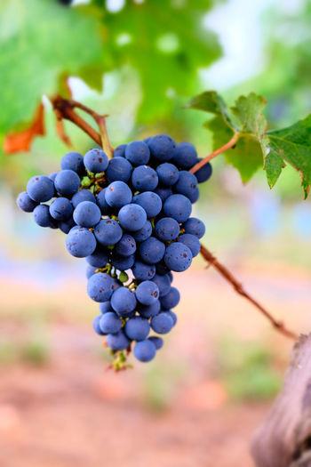 Grapes Healthy