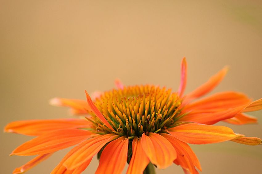 Flower Petal Fragility Orange Color Flower Head Beauty In Nature Freshness Growth Nature Pollen No People Close-up Plant Coneflower Blooming Day Outdoors Eastern Purple Coneflower Victoria Bc Yyj CRD Victoria