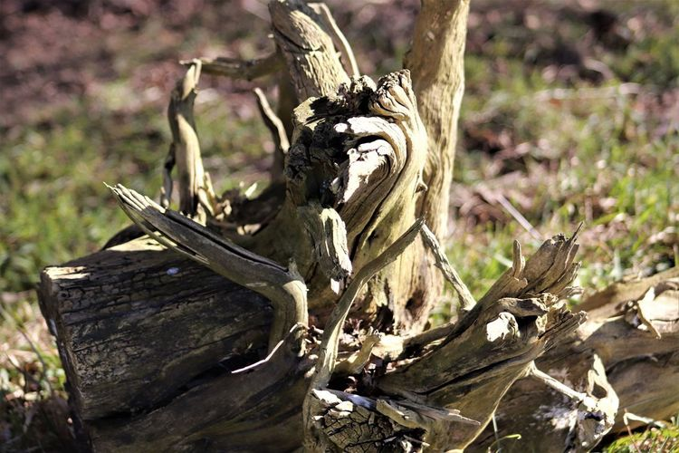 Treetrunk turns into work of art - boomstronk wordt kunstobject Belgique Belgium Winter Animal Bone Animal Themes Boom Boomstronk Close-up Day Dead Plant Dead Tree Focus On Foreground Nature No People Outdoors Stronk Tree Tree Stump Wood - Material