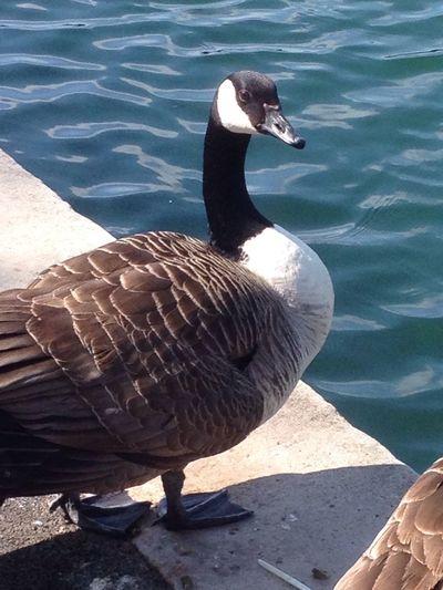 Lake Ducks Birds Of EyeEm  Relaxing Isle Of Wight