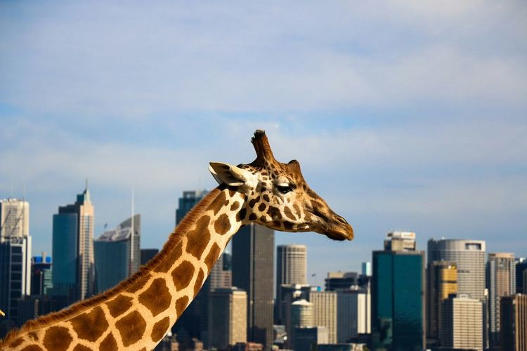 Low angle view of giraffe on city against sky