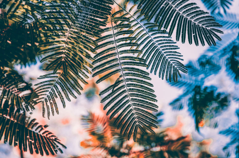 Low angle view of pine tree leaves