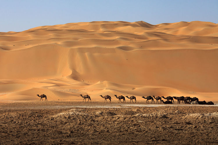 Scenic view camel herd against sand dunes