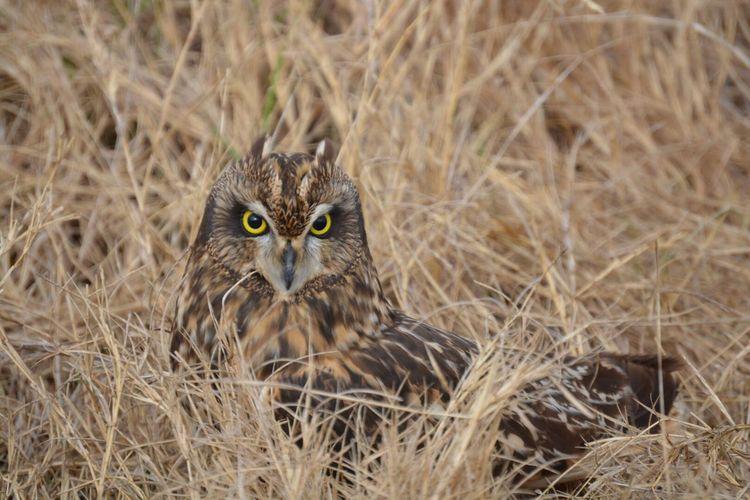 Owl Texas Birds