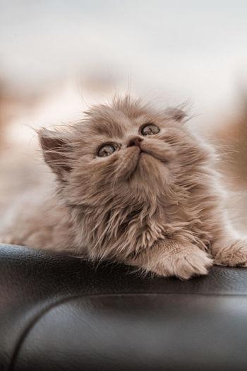 Close-up portrait of cat on sofa