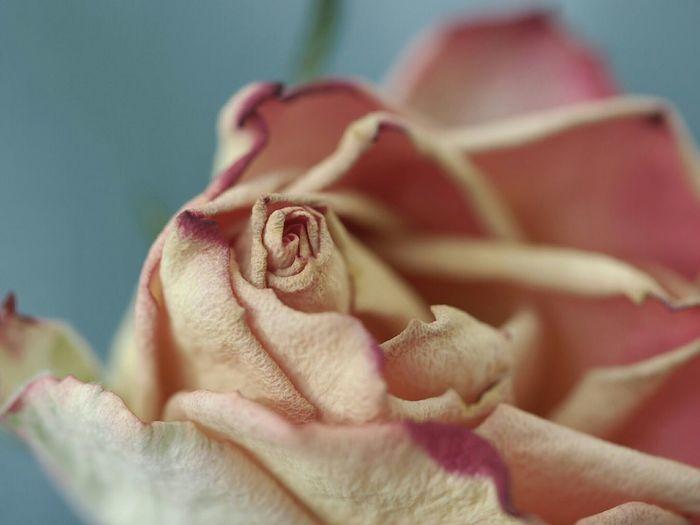 Roses The Purist (no Edit, No Filter) Zuiko 60 Mm Macro Flowers Bokeh Photography