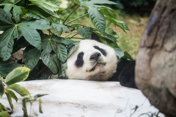 Close-Up Of Panda By Plant