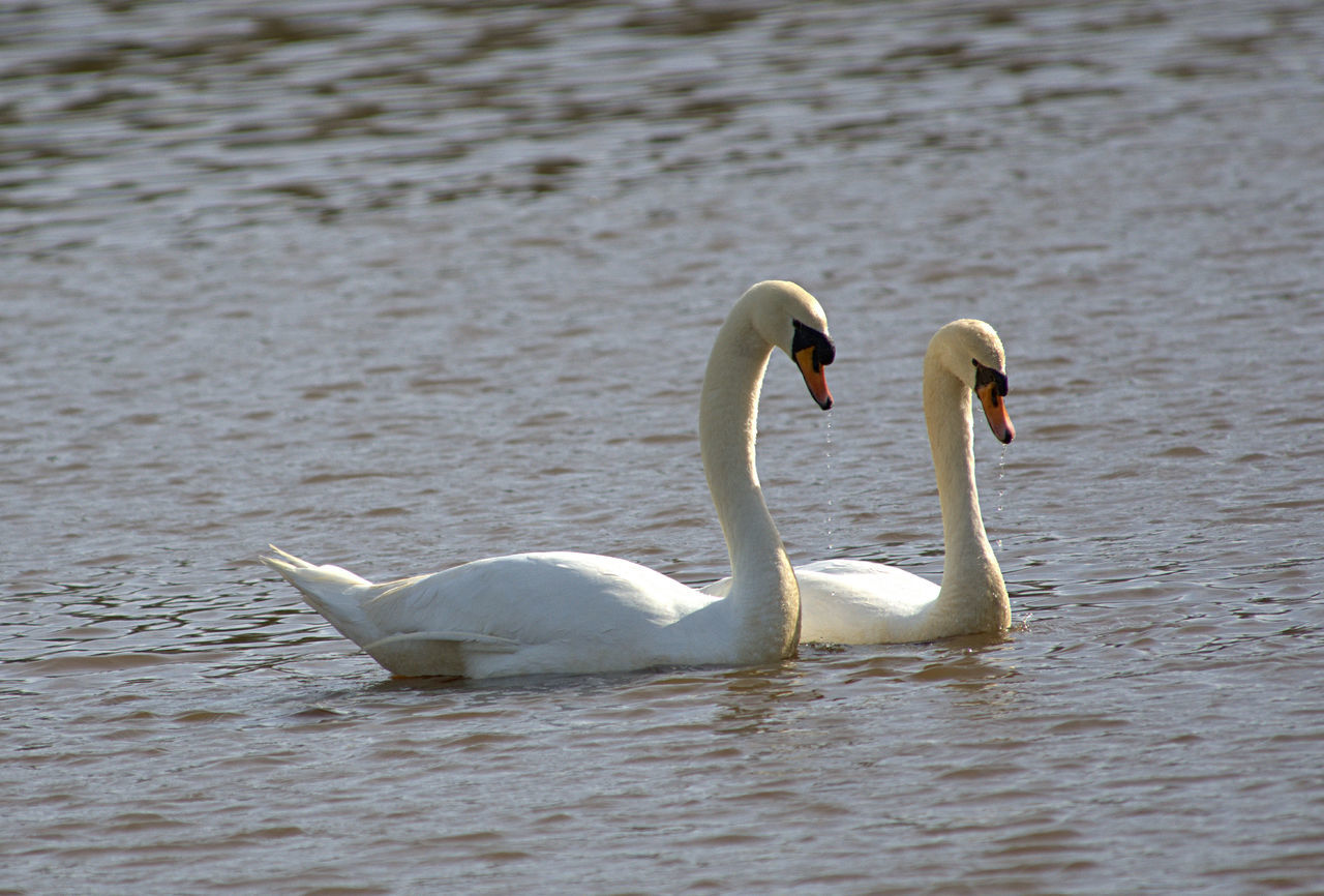 animals in the wild, bird, animal wildlife, animal themes, animal, swan, water, vertebrate, group of animals, lake, swimming, waterfront, white color, water bird, two animals, nature, zoology, day, mute swan, no people, animal family, cygnet, floating on water, animal neck