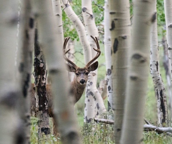 Velvet Antlers Animal Animal Head  Animal Themes Animal Wildlife Animals In The Wild Aspens Day Deer Herbivorous Land Looking At Camera Mammal Mule Deer Buck Nature No People One Animal Outdoors Plant Portrait Selective Focus Tree Tree Trunk Trunk