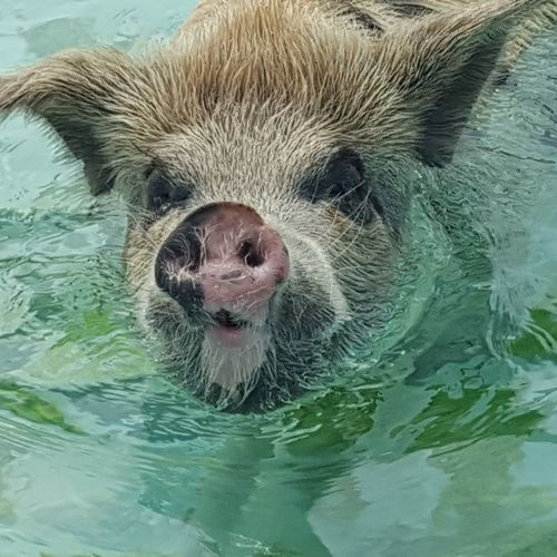 Animal Themes Water One Animal Pupparazzi Looking At Camera Swimming Pig Pigs Travel Destinations EyeEm Of The Week The Great Outdoors - 2017 EyeEm Awards Exuma Theswimmingpigs Bahamas Nature Outdoors Animals In The Wild Reiselust Vacations Traveling Beach Life Portrait Close-up Pupparazzi Schwimmende Schweine Connected By Travel An Eye For Travel