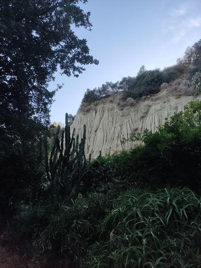 Ischia Tree