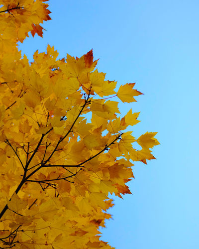 Low angle view of autumnal tree against clear blue sky