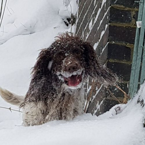 snow smile Spaniel Dogs Of EyeEm #NoFilter #likeforlike #likemyphoto #qlikemyphotos #like4like #likemypic #likeback #ilikeback #10likes #50likes #100likes #20likes #likere Snow Cold Temperature Winter Dog Frozen Snowing Snowdrift Deep Snow Sticking Out Tongue Animal Tongue Animal Mouth