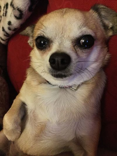 Cute Pets Chihuahua Puppy❤ My Dogs Are Cooler Than Your Kids Chihuahua Love ♥ My Pet