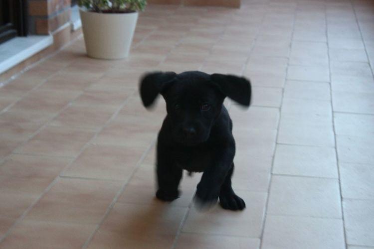 Labrador Labrador Retriever LabPuppy Blacklabrador Blacklab Blackpuppy BlackDog Blackretriever Puppylabs Puppylabrador