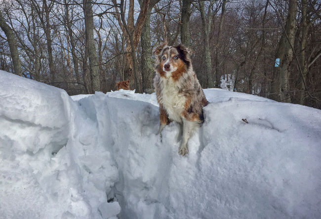 Snow Dog Animal Themes Australian Shepherd  Cold Temperature Day Dog Domestic Animals Mammal Mouth Open Nature No People One Animal Outdoors Pets Snow Snow Bank Tree Winter