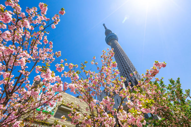 Tokyo Skytree with cherry blossoms in full bloom in Sumida District, Tokyo, Japan. Tokyo Skytree is the tallest tower in the world, broadcasting and observation tower. Asakusa,tokyo,japan Cherry Cherry Blossom Cityscape Hanami Sakura  Japan Japanese  Observatory SkyTree Tower Skyline Skytree Tokyo Tokyo Tokyo,Japan Top Tree Aerial View Architecture Asakusa Blossom Blue Building Building Exterior Built Structure Cherry Blossom Clear Sky Day Flower Flowering Plant Growth Hanami Low Angle View Nature No People Office Building Exterior Outdoors People Plant Sky Skyscraper Skytree Springtime Sumida Sunlight Tower Tree