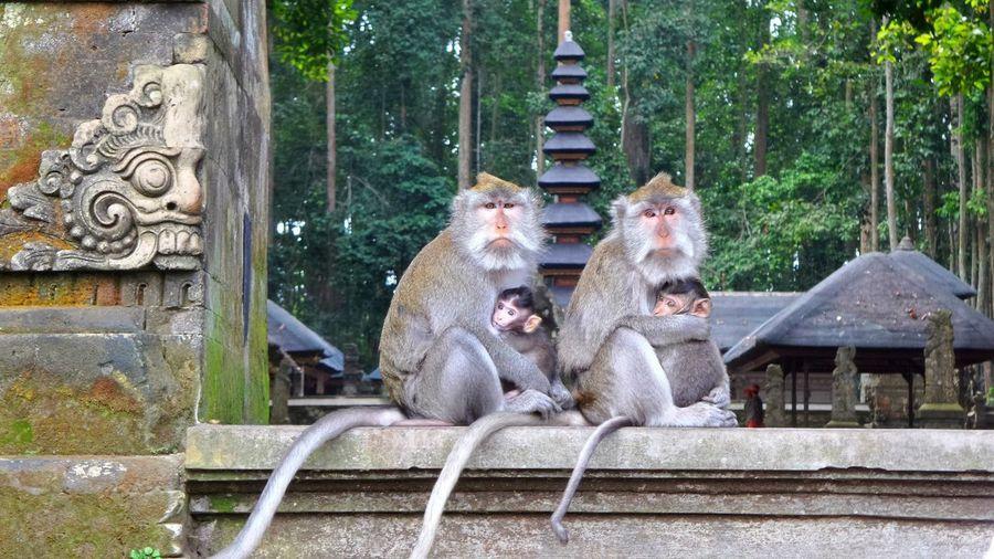 Face to face in Bali Bali Temple Monkeys Verybalitrip Jeanmart Joseph Jeanmart Facetoface The Portraitist - 2016 EyeEm Awards