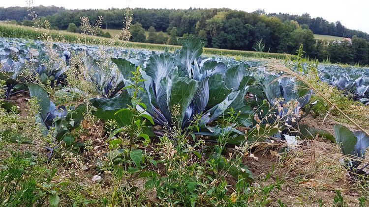 Kohl-Feld Kohl Feld Agriculture Rural Scene Field Grass Close-up Plant
