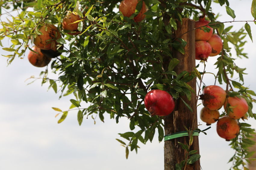 Pomegranates  Beauty In Nature Branch Close-up Day Food Food And Drink Freshness Fruit Growth Healthy Eating Leaf Low Angle View Nature No People Outdoors Red Sky Tree